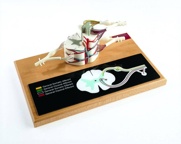 Deluxe Spinal Cord Anatomy Model