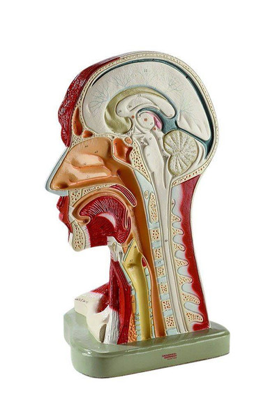 Right Half Of Head and Neck Musculature Anatomy Model