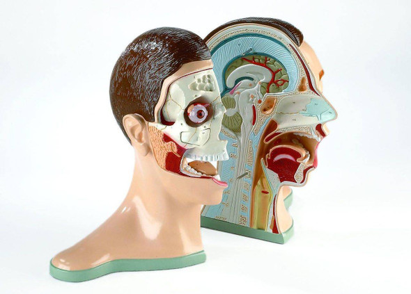 Five Part Bisected Head Anatomy Model