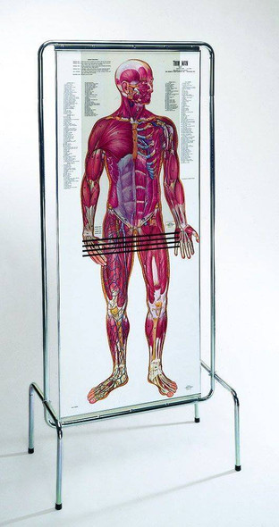 The Thin Man Sequential Human Anatomy Figure