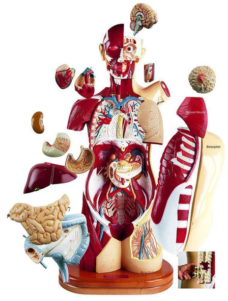 32 Part Multi Torso Anatomy Model Male Female and Sexless Configuration