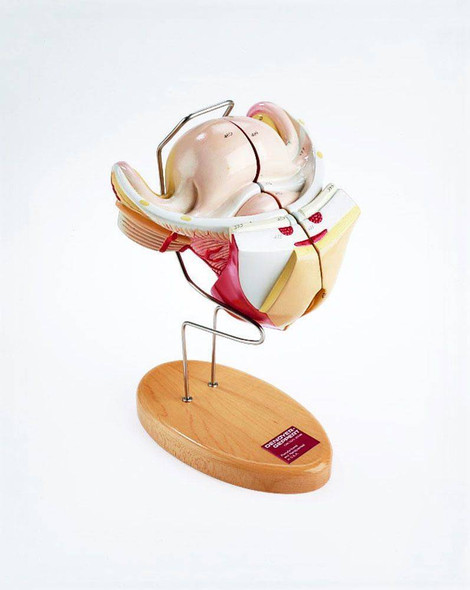 First Trimester Pregnancy Insert With Removable 12 Week Embryo Anatomy Model