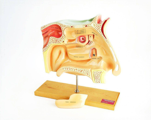 Human Sinuses Anatomy Model