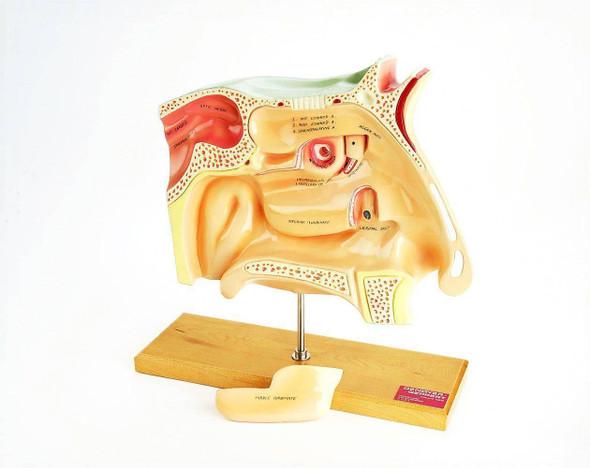 Human Sinuses Anatomy Model