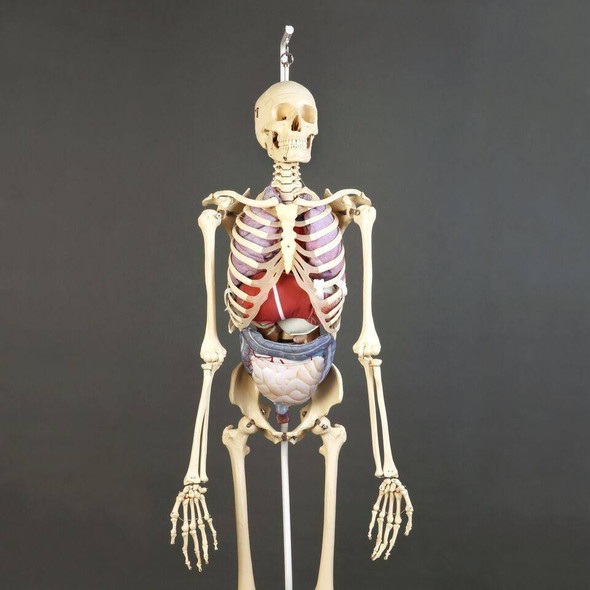 Premier Skeleton with Soft Organ Set