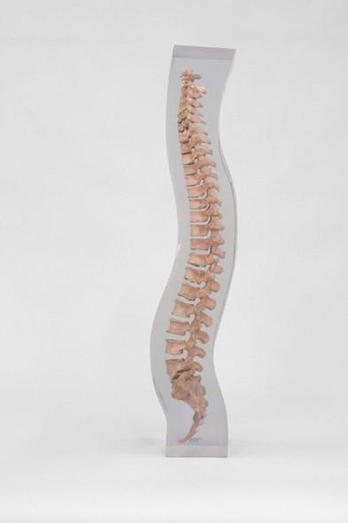 X-Ray Phantom Spine Model, Transparent