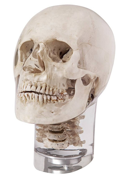 X-Ray Phantom Head With Cervical Vertebrae, Transparent