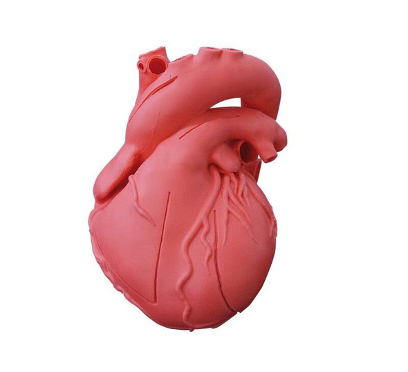 Heart Model, Flexible, Didactical Version - Opaque