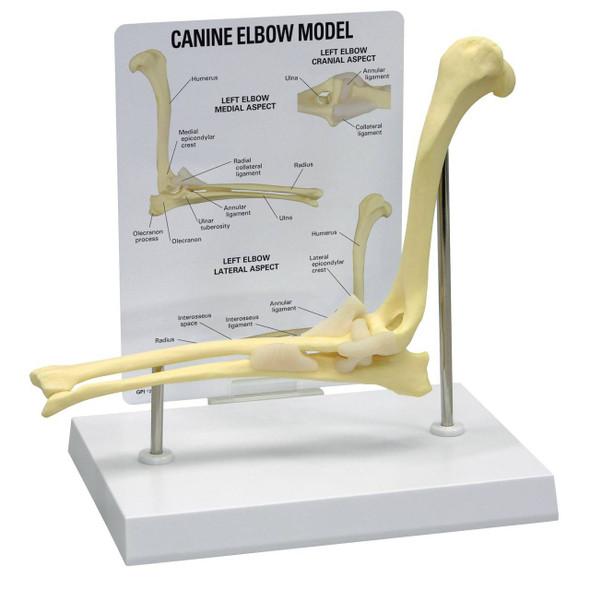 Canine Elbow Anatomy Model