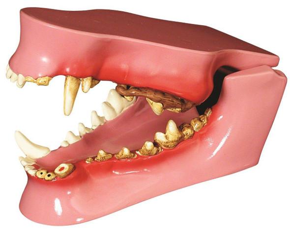 Canine Jaw Anatomy Model