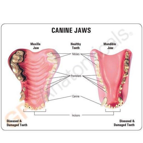 Canine Jaw Anatomy Model 1