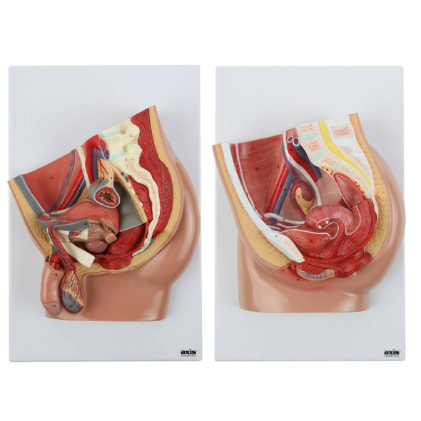 Axis Scientific Pelvis Anatomy Model Set