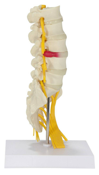 5 Piece Vertebral Column Anatomy Model With Sacrum 1