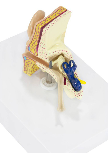 Basic Ear Anatomy Model 1