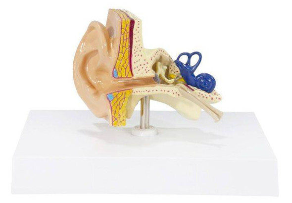 Basic Ear Anatomy Model