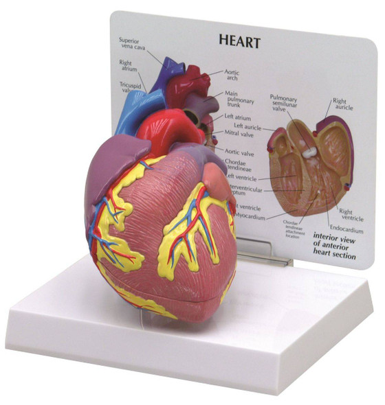 Basic Heart Anatomy Model