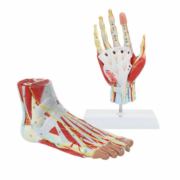 Axis Scientific Hand and Foot Anatomy Model Set