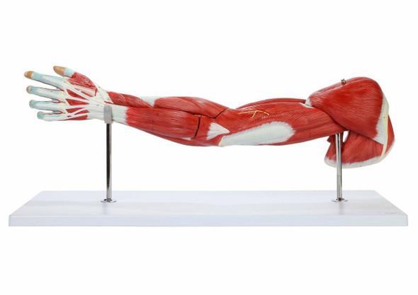 Axis Scientific Arm and Leg Musculature Anatomy Model Set 1