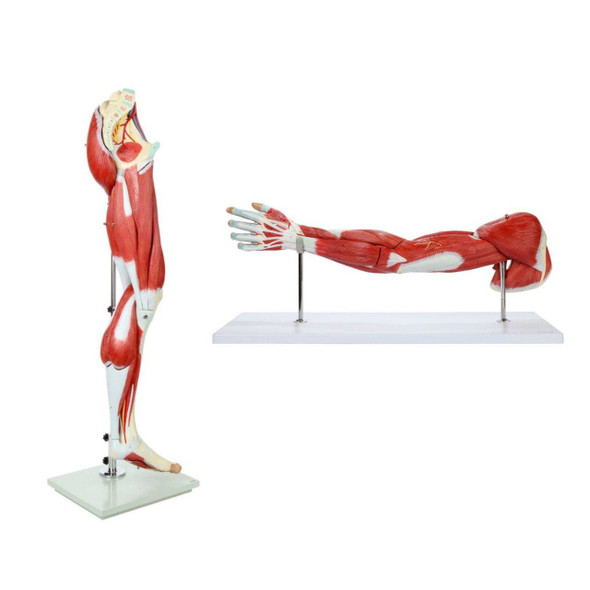 Axis Scientific Arm and Leg Musculature Anatomy Model Set