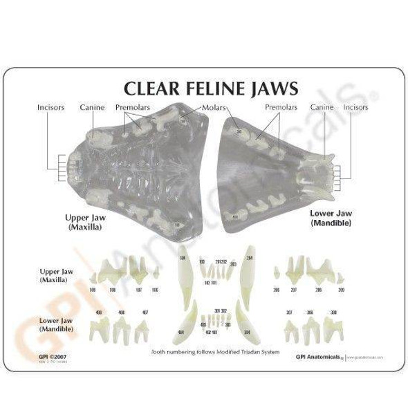 Canine Clear Jaw Anatomy Model 1