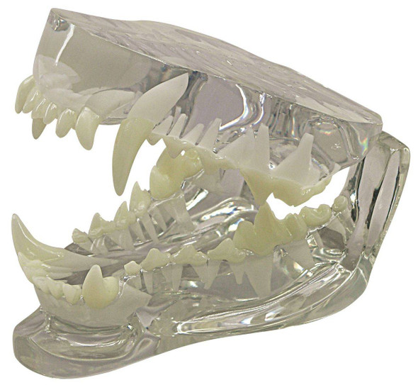 Canine Clear Jaw Anatomy Model