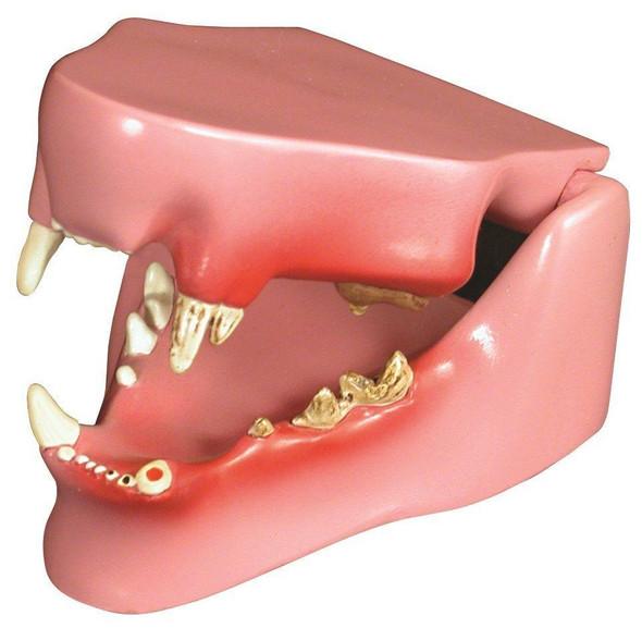 Feline Jaw Anatomy Model