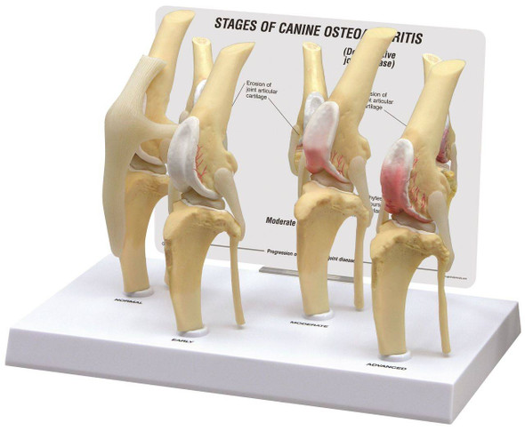 Canine 4-Stage Knee Anatomy Model