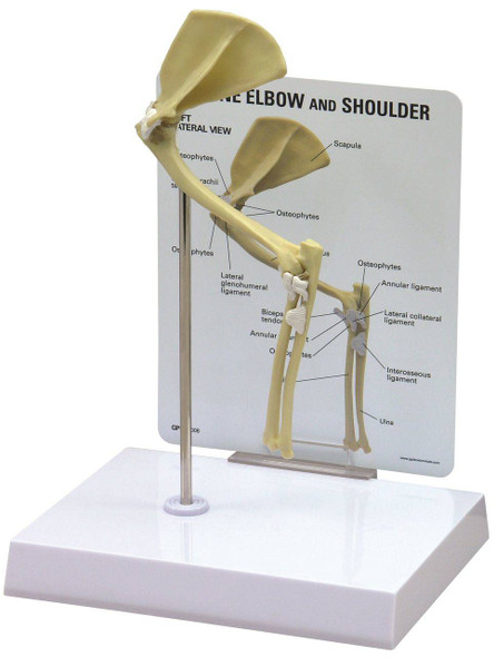 Feline Elbow and Shoulder Anatomy Model