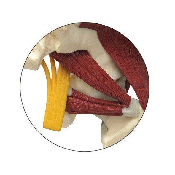 Muscled Hip with Sciatic Nerve Anatomy Model 1