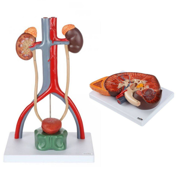 Axis Scientific Urinary Anatomy Model Set