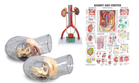 Dual Sex Catheter Transparent Trainer and Urinary System Kit