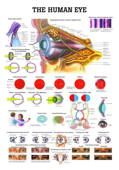 The Human Eye Laminated Anatomy Chart