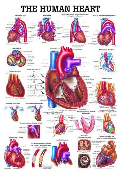The Human Heart Laminated Anatomy Chart