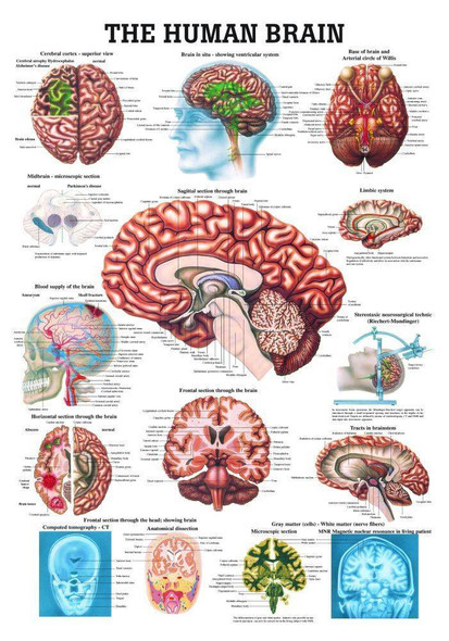 The Human Brain Laminated Anatomy Chart