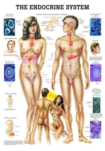The Endocrine System Laminated Anatomy Chart