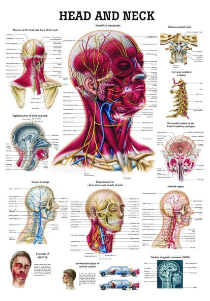 Head and Neck Laminated Anatomy Chart