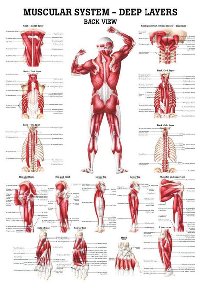 The Muscular System - Deep Layers, Back Laminated Anatomy Chart