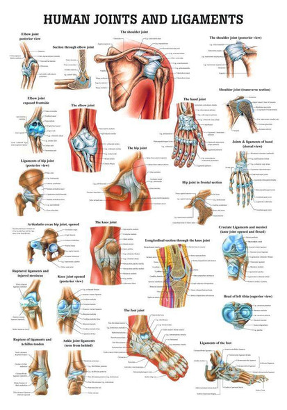 Joints and Ligaments Laminated Anatomy Chart