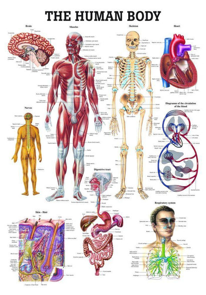 The Human Body Laminated Anatomy Chart