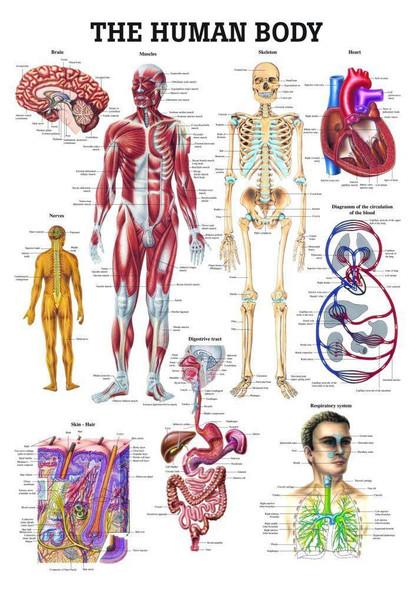The Human Body Laminated Anatomy Chart