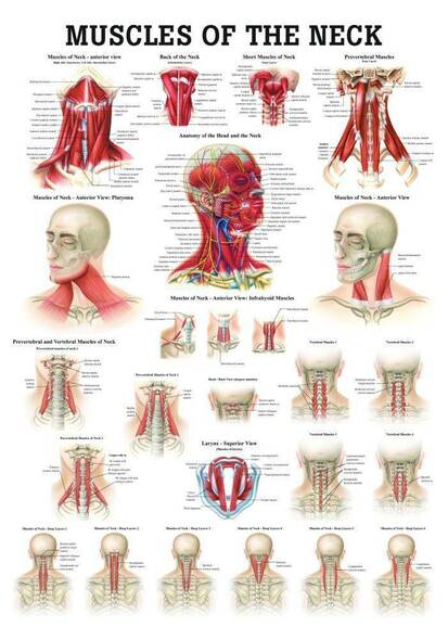 Muscles of the Neck Laminated Anatomy Chart