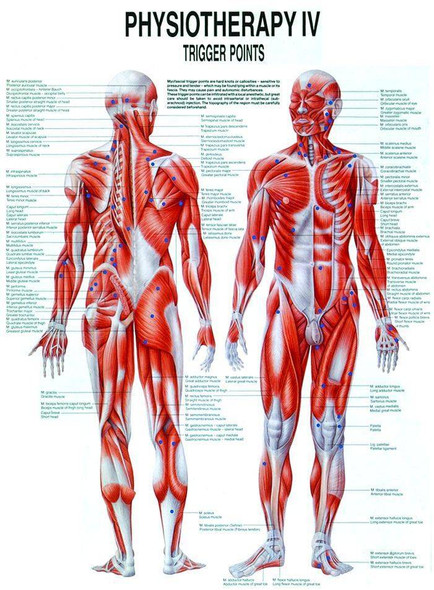 Trigger Points Laminated Chart