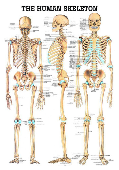 The Human Skeleton Laminated Anatomy Chart