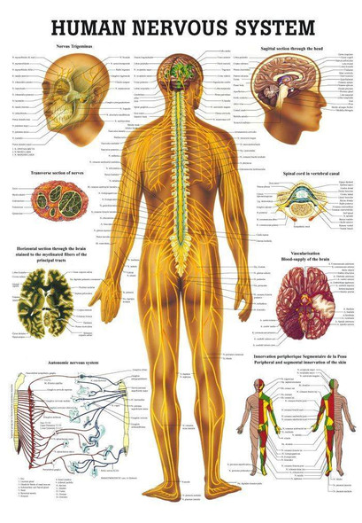 The Human Nervous System Laminated Anatomy Chart