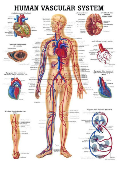 The Human Vascular System Laminated Anatomy Chart