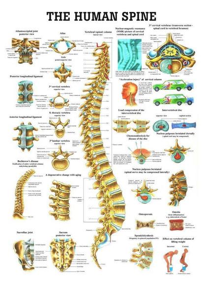 The Human Spine Laminated Anatomy Chart