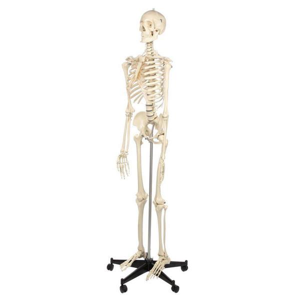 Rudiger Anatomie Premium Standard Human Skeleton with Stand 1