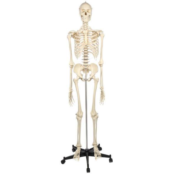 Rudiger Anatomie Premium Standard Human Skeleton with Stand