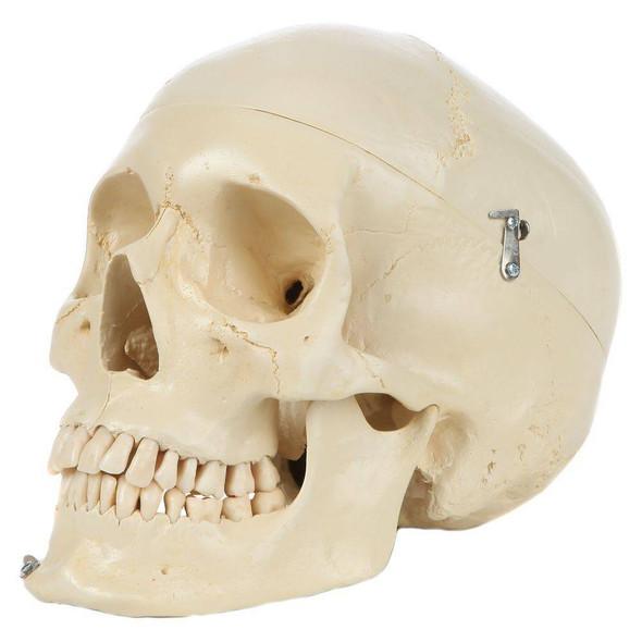 Rudiger Anatomie Premium Structured 4-Part Human Skull