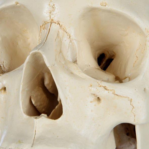Rudiger Anatomie Premium Structured 4-Part Human Skull 1